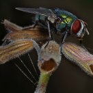 Aerodynamics of the fly .